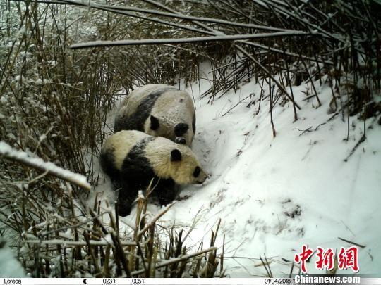 陕西长青自然保护区拍摄到大熊猫哺乳的珍贵资料。 陕西长青自然保护区供图 摄