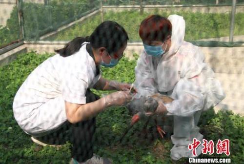 图为在陕西汉中朱鹮国家级自然保护区管理局龙亭保护站,工作人员为受伤的朱鹮进行换药消毒。 张一辰 摄
