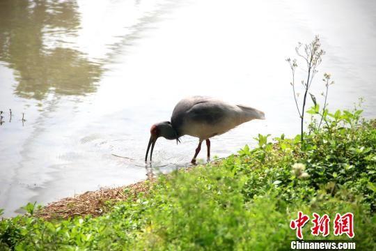 图为陕西汉中朱鹮国家级自然保护区内的朱鹮。 张一辰 摄