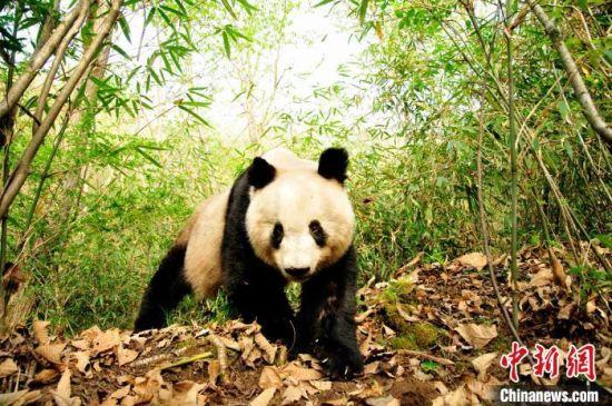 秦岭大熊猫。 赵纳勋 摄