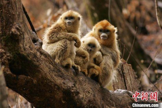 金丝猴。 关克 摄