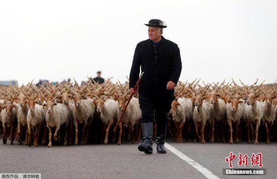 匈牙利牧民庆祝放牧季节开始 螺旋角羊鳞次栉比场面壮观