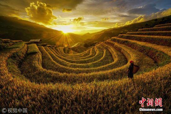 摄影师拍摄越南梯田 稻浪绵延比油画更夺目