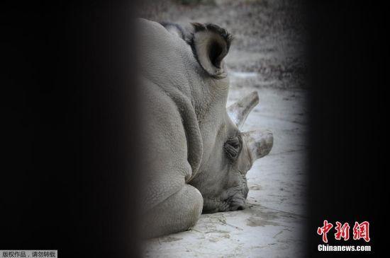 """最后一头雄性北方白犀牛""""苏丹""""被实施安乐死"""