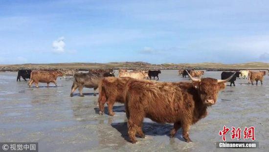 """荒岛来客 英国百余头牛""""渡海""""到无人岛产仔"""