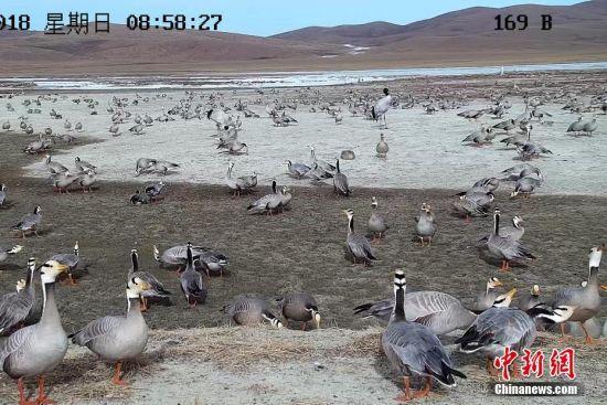 """""""世界飞得最高的鸟类""""斑头雁在长江源数量增一倍"""